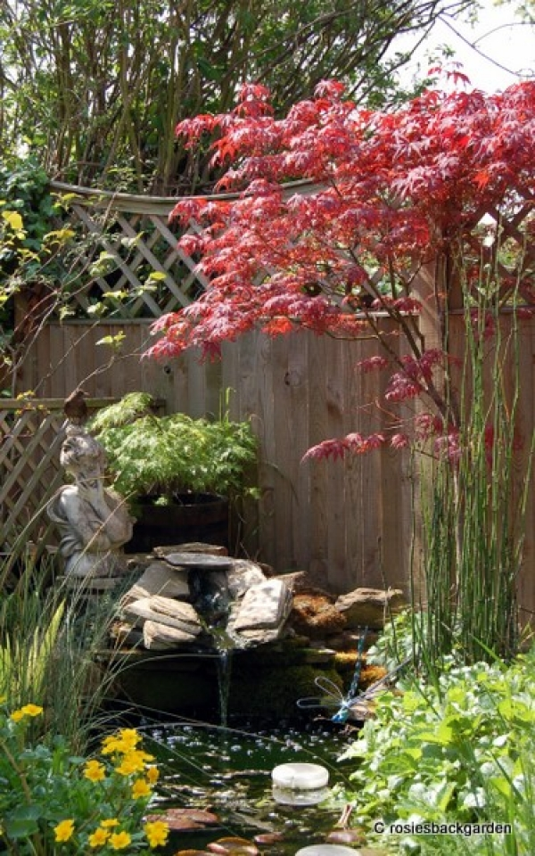 Acer palmatum 'Sunset'