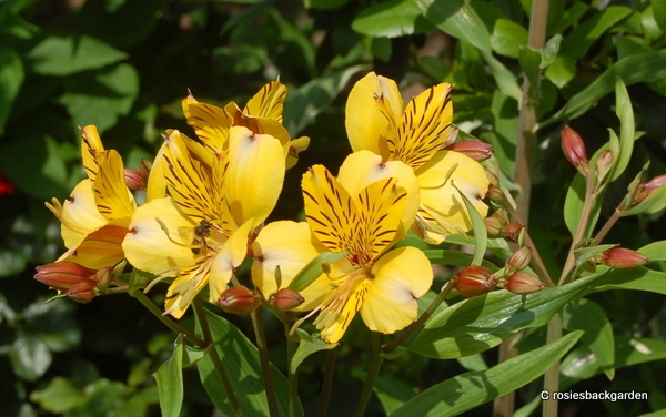 Alstroemeria 'Golden delight'