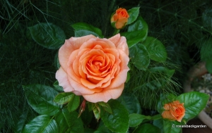 Rosa 'Shining Light'